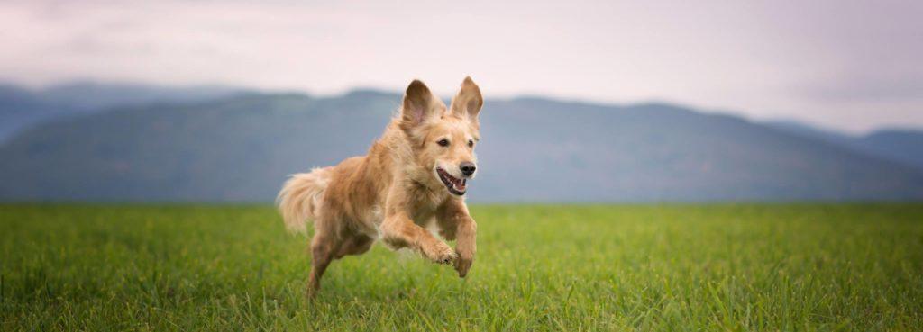 Comment apprendre à son chien à revenir ?