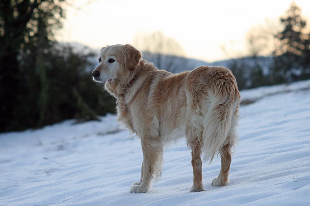 Scintille, une chienne en or