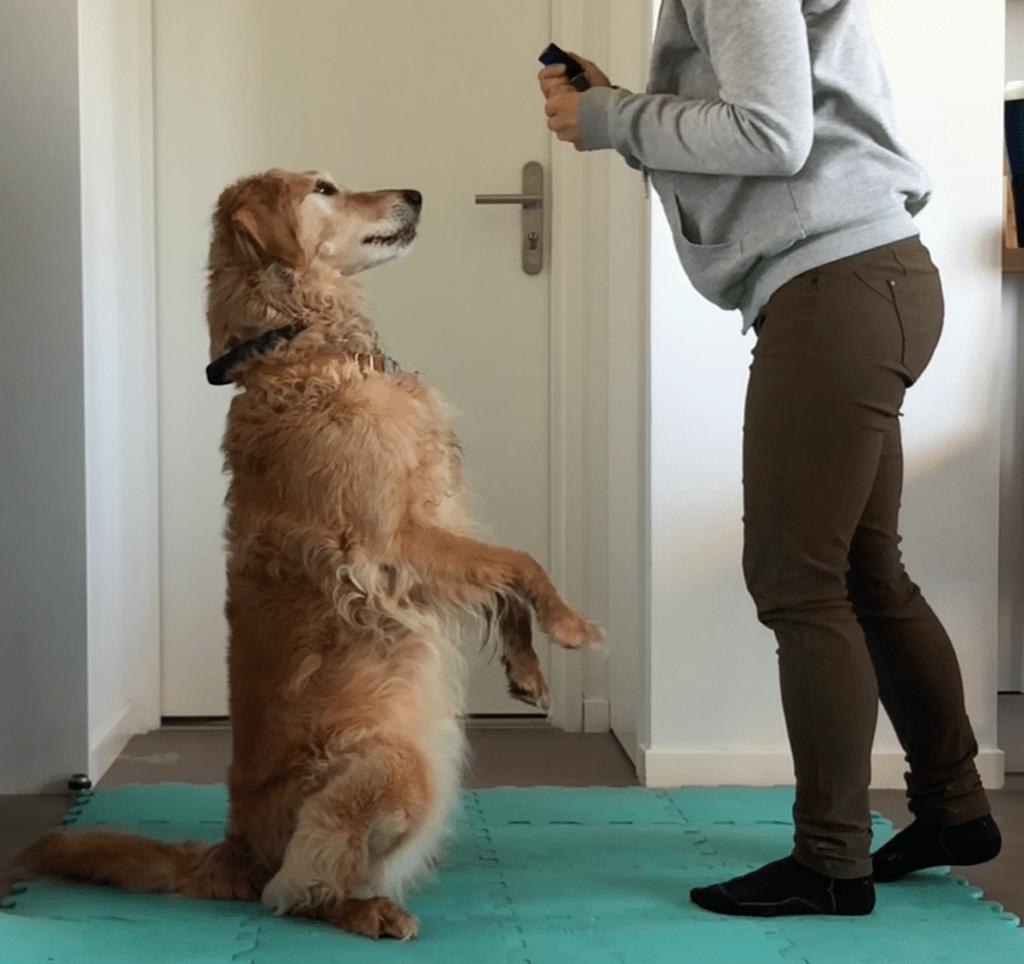 Classe en ligne préparation & entretien physique du chien (proprioception)