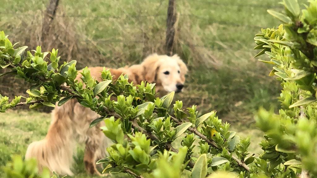 Se cacher lorsque le chien ne revient pas au rappel : bonne ou mauvaise idée ?
